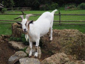 Eine Ziege steht im Gehege auf Kalksteinen