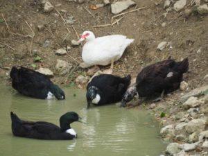 Enten im Wasser beim schwimmen