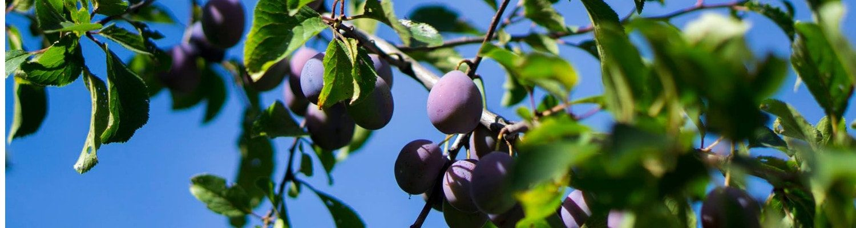 fruchtige Pflaumen auf dem Baum