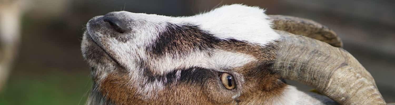 Großaufnahme einer Ziege