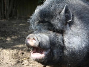 Minischwein erzählt aus seinem Leben