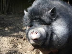 Minischwein im Stall