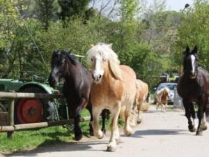 Pferde und Ponys auf dem Weg in den Stall
